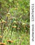 sparkling violetear  colibri... | Shutterstock . vector #1234764211