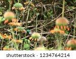 sparkling violetear  colibri... | Shutterstock . vector #1234764214
