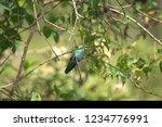 sparkling violetear  colibri... | Shutterstock . vector #1234776991