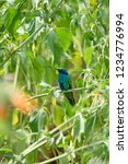 sparkling violetear  colibri... | Shutterstock . vector #1234776994
