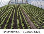 growing up  lettuce lollo... | Shutterstock . vector #1235035321