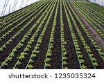 growing up  lettuce lollo... | Shutterstock . vector #1235035324
