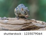 squirrel is a mammal. a small... | Shutterstock . vector #1235079064