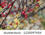 branches of barberry with... | Shutterstock . vector #1235097454