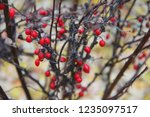branches of barberry with... | Shutterstock . vector #1235097517