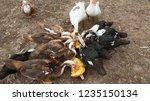 Ducks Geese And Muscovy Ducks...