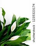 floral spathiphyllum banner or...   Shutterstock . vector #1235323174