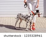 Stock photo woman in red boots walking with a dalmatian dog on the roller shutters background feet and legs 1235328961