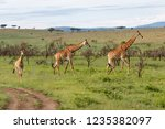 giraffes in the hills of a game ... | Shutterstock . vector #1235382097