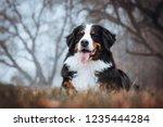 Bernese Mountain Dog Posing In...