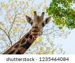 a giraffe head that is looking... | Shutterstock . vector #1235464084
