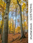 beech forest in autumn | Shutterstock . vector #1235702941