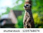 closeup of brown meerkat ...   Shutterstock . vector #1235768074