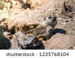 closeup of funny brown meerkat  ...   Shutterstock . vector #1235768104
