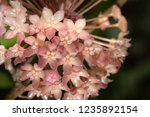 close up hoya flower for nature ... | Shutterstock . vector #1235892154