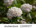 A Springtime Viburnum...