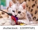 Stock photo kitten playing with feather wand small british kitten gray white color chews cat toy looking at 1235997691