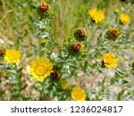 Small photo of Yellow Grindelia flower and the closed spent heads, working away at creating viable seeds to sow in the sandy grassland soil