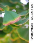 Ginkgo Leaf Discoloration
