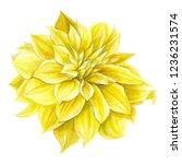 beautiful yellow dahlia flower  ... | Shutterstock . vector #1236231574
