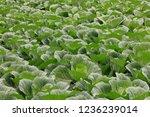 cabbage field   fall of tokyo | Shutterstock . vector #1236239014