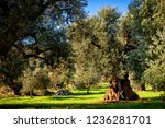 old olive grove in autumn in... | Shutterstock . vector #1236281701