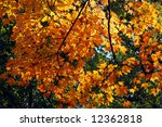 Beautifully backlit autumn foliage - stock photo