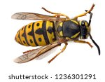 single wasp isolated on white... | Shutterstock . vector #1236301291