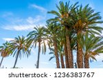 view to big palm trees on the... | Shutterstock . vector #1236383767