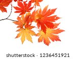 autumn maple leaves | Shutterstock . vector #1236451921