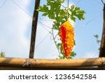 orange ripe hanging fruits of... | Shutterstock . vector #1236542584
