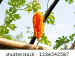 orange ripe hanging fruits of... | Shutterstock . vector #1236542587