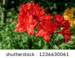 slocock hybrid azalea ... | Shutterstock . vector #1236630061