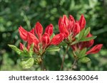slocock hybrid azalea ... | Shutterstock . vector #1236630064