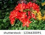 slocock hybrid azalea ... | Shutterstock . vector #1236630091
