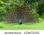 Peacock. A Bird In The Wild....