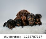 Stock photo puppies dachshund dachshund puppies with mom brown dachshund and puppies mother puppies of the 1236787117