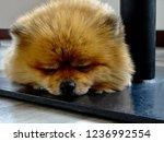 cute puppy taking a nap....   Shutterstock . vector #1236992554