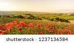 poppy flower field in beautiful ... | Shutterstock . vector #1237136584