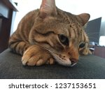 egyptian mau cat laying in... | Shutterstock . vector #1237153651