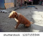 dog in chain trying to warm... | Shutterstock . vector #1237155544