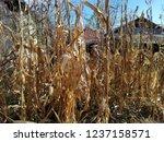 corn cob field in the garden in ... | Shutterstock . vector #1237158571