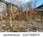 corn cob field in the garden in ... | Shutterstock . vector #1237158574