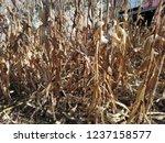 corn cob field in the garden in ... | Shutterstock . vector #1237158577
