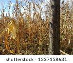 corn cob field in the garden in ... | Shutterstock . vector #1237158631