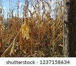 corn cob field in the garden in ... | Shutterstock . vector #1237158634
