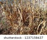 corn cob field in the garden in ... | Shutterstock . vector #1237158637