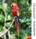 bright red parrot | Shutterstock . vector #1237251121