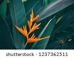 tropical exotic blossom  orange ... | Shutterstock . vector #1237362511