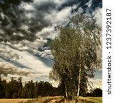 solitary birch trees beside the ...   Shutterstock . vector #1237392187